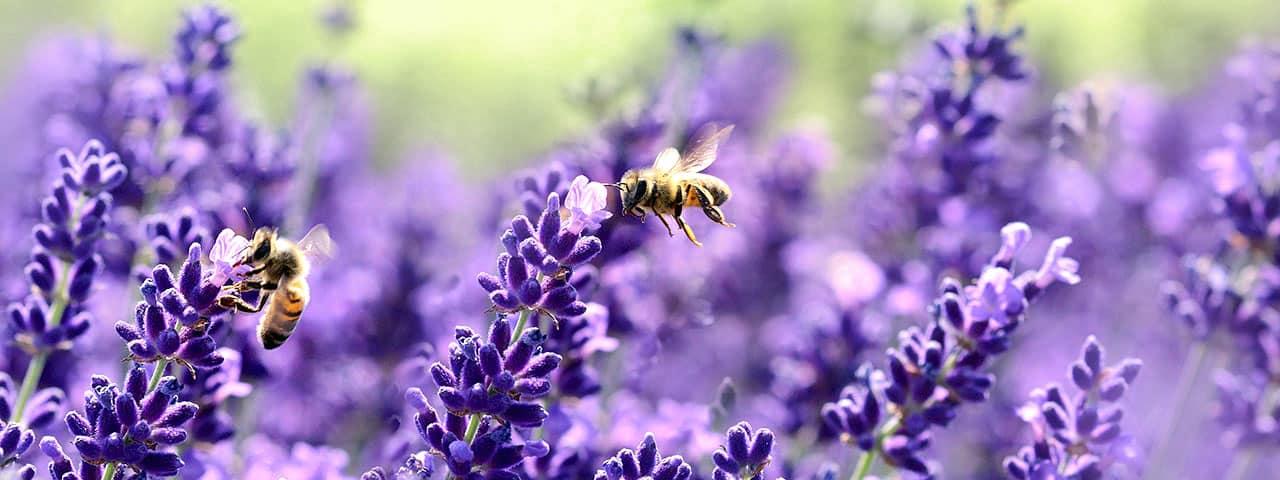 Banner Lavendelthema